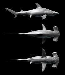 Resultado de imagen para hammerhead shark