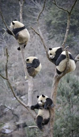 Love love pandy bears :)