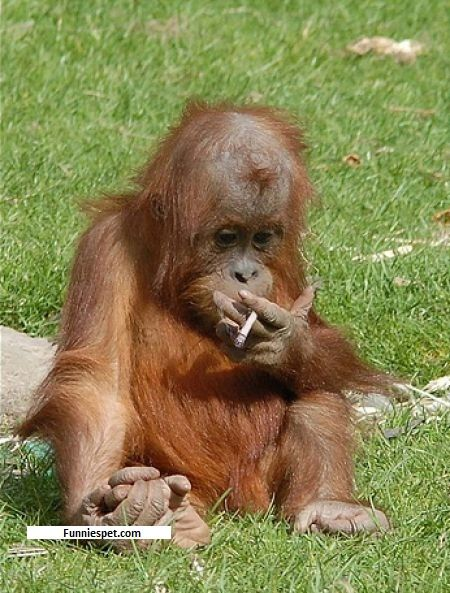 smoking monkeys