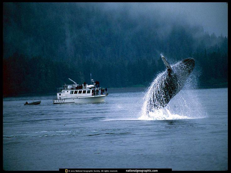breaching whale 521840 lw