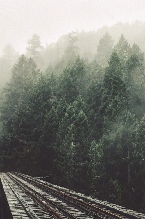 misty fog + evergreens