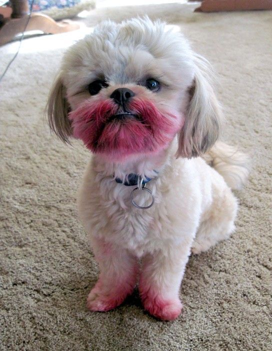 Your evidence is circumstantial at best.: Lipsticks, Funny Dogs, Funny Pictures, Funny Stuff, Shihtzu, Puppy, Funny Animal, Shih Tzu, Smile