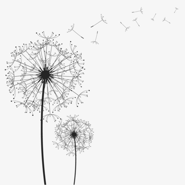 Cartoon Dandelion Black Dandelion Floating Dandelion Png Image Dandelion Drawing White Dandelion Dandelion Pictures