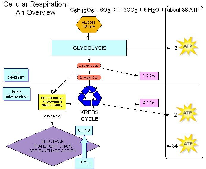 65 best cellular respiration images on pinterest cell biology cellular respiration biology ccuart Image collections