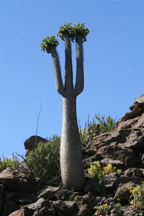 "The South African ""Halfmens"" tree, legend has it these trees are half man, half plant.  Glorious plant."