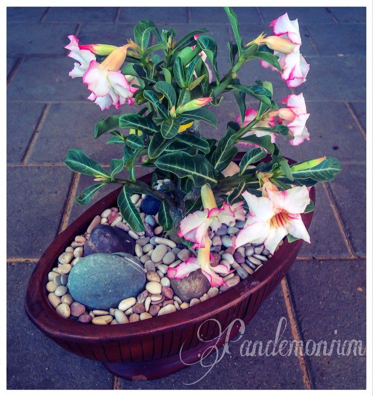 Adenium obesum x adenium crispum hybrid- desert rose