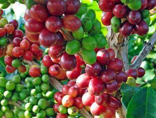 cara pembuatan kopi,jenis minuman kopi,jenis-jenis kopi,kandungan kopi,makalah kopi,manfaat kopi,pengertian kopi,sejarah kopi di indonesia,