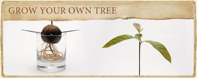 Grow Your Own Avocado Tree From Seed