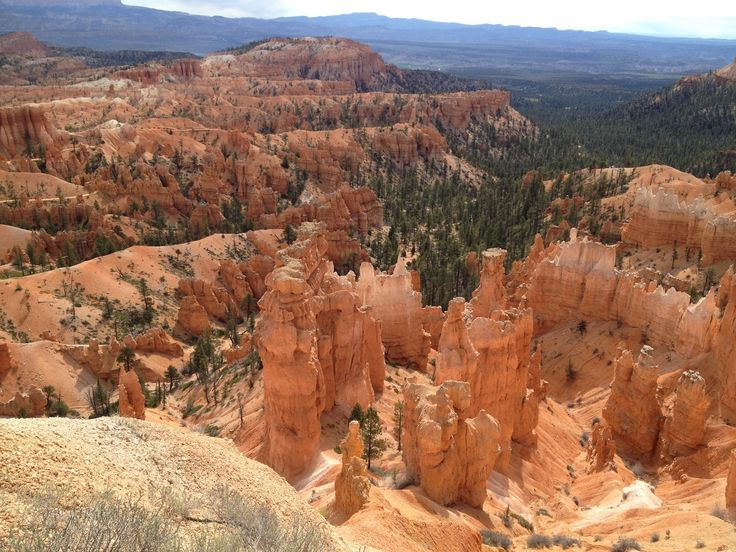 Pine trees stand with a various sand towers panorama in Bryce canyon