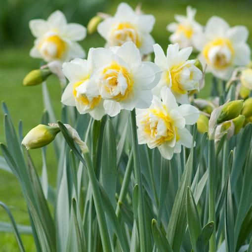 """Dutch growers say these daffodils look up at you to show off their beauty. Extra large flowers are up to 4"""" across and have pretty ruffled centers layered with white and yellow petals. #daffodils #fragrant"""