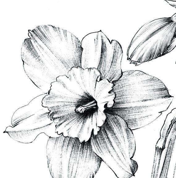 Narcissus Sketch Large Print Coloring Page Clipart Daffodil Flower Line Drawing Botanical Prints A1 Floral Hygge Black White Daffodils Yellow Aesthetic Pastel Flower Line Drawings