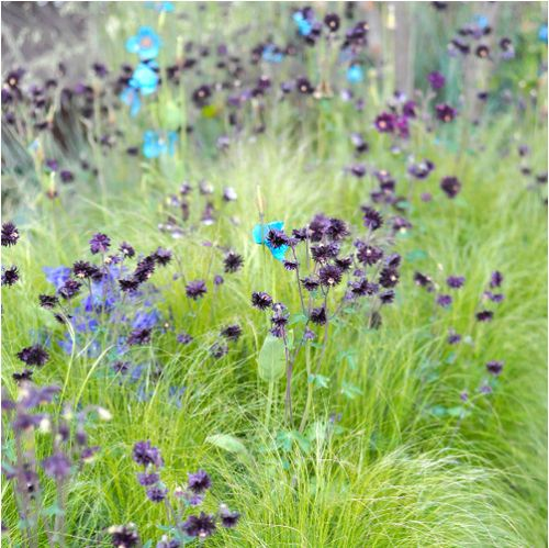 I love Scandinavian design, meadow flowers and this natural look created with Himalayan blue poppies, Black Barlow columbine and soft grasses