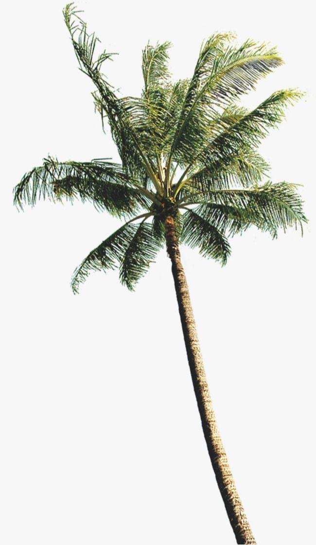 Coconut Tree Photos Coconut Tree Drawing Tree Photoshop Palm