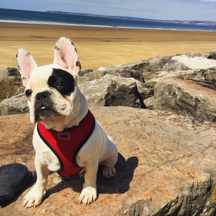 Source: dailyfrenchie.tumblr.com  Rocco from S Wales UK