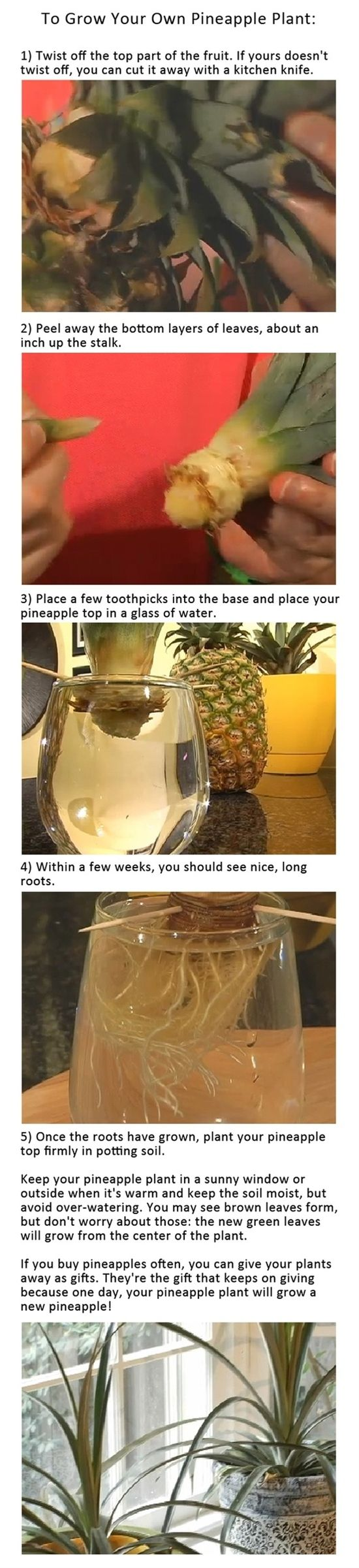 How To: Regrow Pineapples | Savvy Living - Click image to find more Gardening Pinterest pins