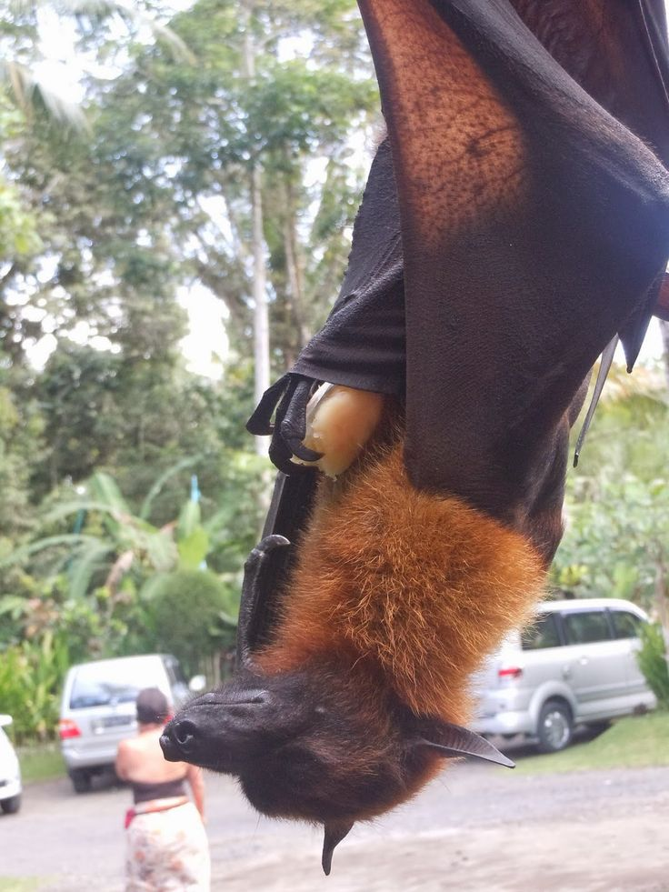 Murciélago zorro volador filipino