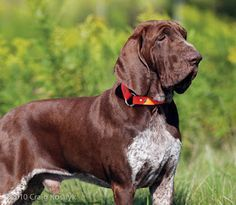 bracco italiano - Google Search