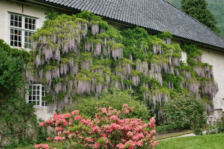 Blåregn (Wisteria sinensis) fra 1700- tallet Wisteria sinensis from the 18th century