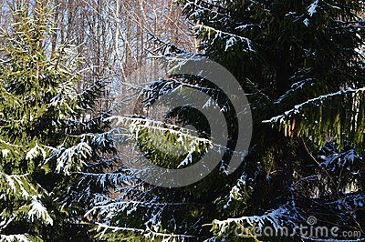 Fir tree branches and forest background under snow crystals.