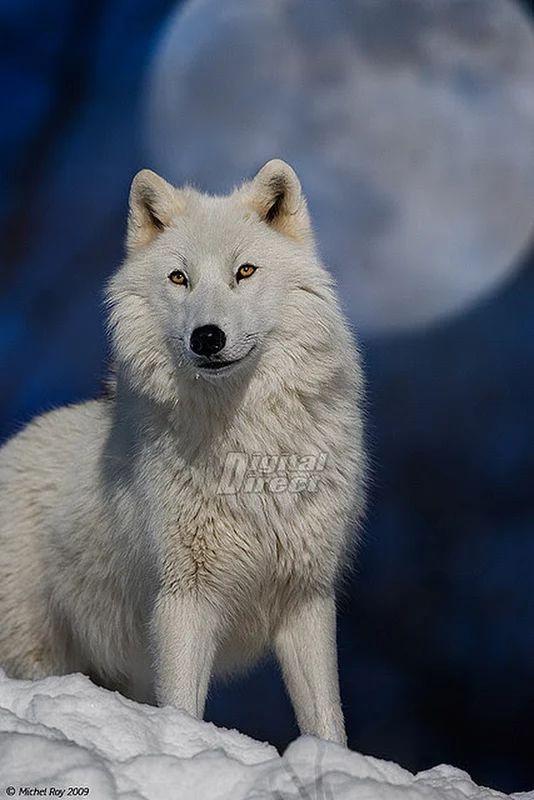 wolf animal spirit majestic animals wolves snow moon wild arctic loups lobo moonlight winter blancs blanco pretty creatures dogs most