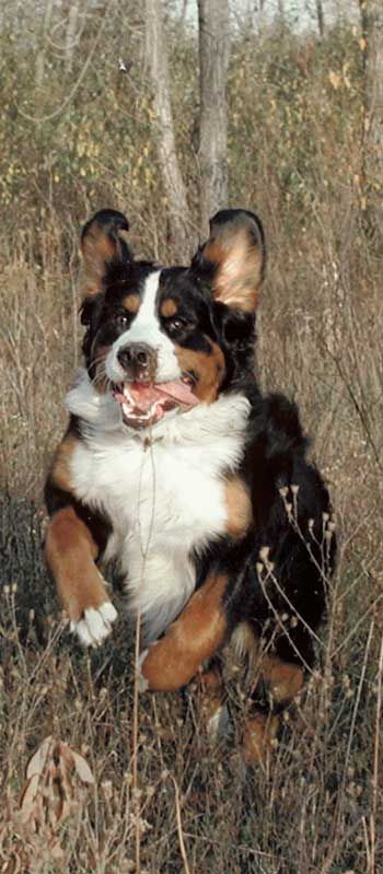 Bernese Mountain Dog Guides