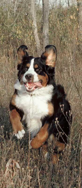 Bernese Mountain Dog Guides