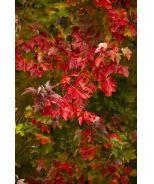 Red Sunset® Red Maple (Acer rubrum 'Franksred') - Monrovia - Red Sunset® Red Maple (Acer rubrum 'Franksred')