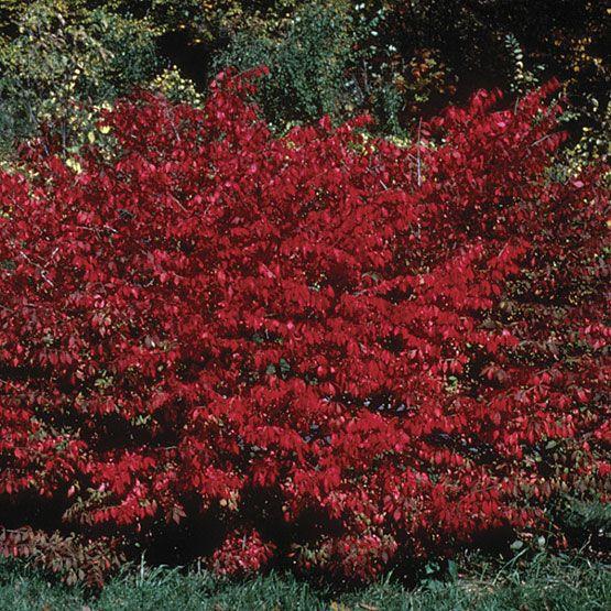 Burning Bush Gardens Euonymus Alatus Garden Trees