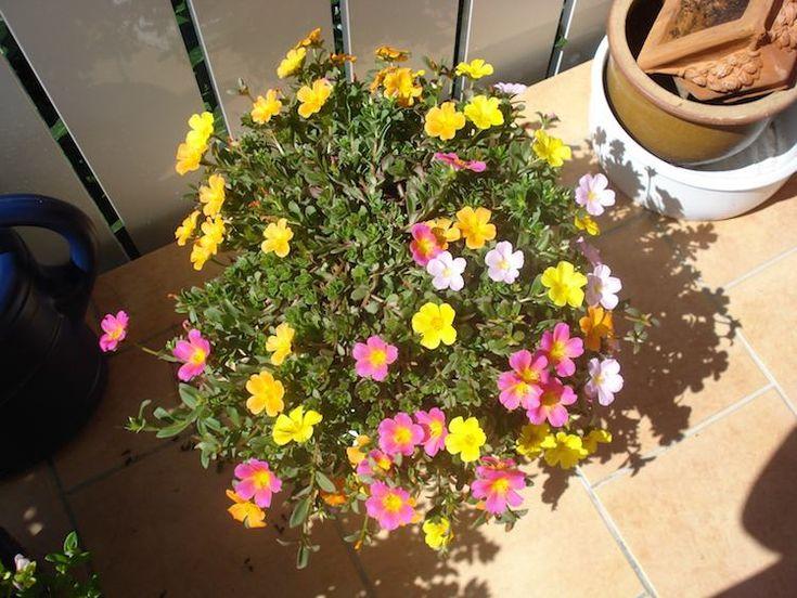 plante-plein-soleil-pot-balcon-terrasse-Chevalier-d'onze-heures-Portulaca-grandiflora
