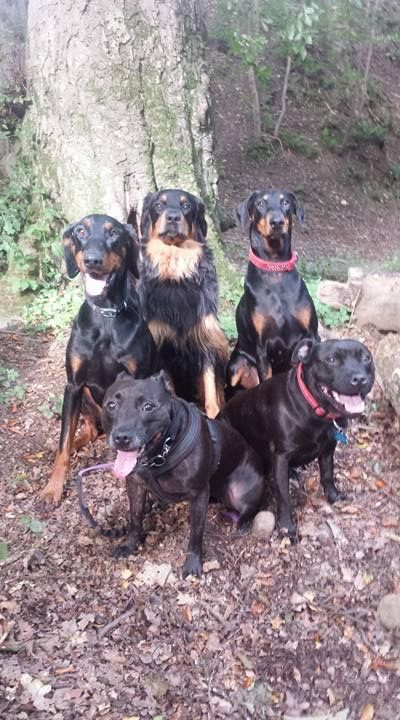 Zach out with his new pals ... he could easily be mistaken for a long haired Doberman!!!!