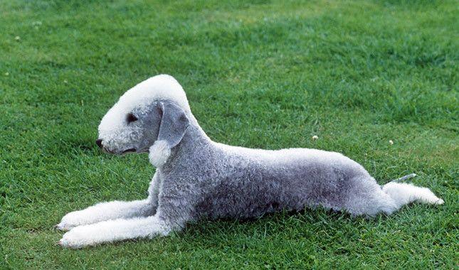 Meet the Bedlington Terrier