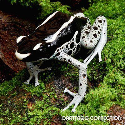 Dart Frog Connection - Tinctorius Powder Grey