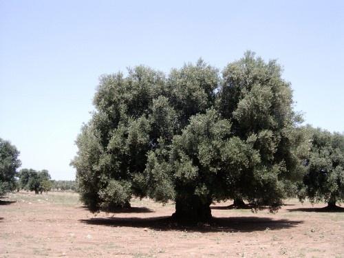 La sclerosi multipla potrebbe venir trattata, se non addirittura, in un futuro nemmeno troppo lontano, definitivamente curata, grazie ad una particolare sostanza acida contenuta nelle foglie degli ulivi.