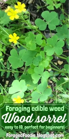 Happy St. Patty's day! Wood sorrel is sometimes called American Shamrock. It's a tasty little edible weed that's perfect for beginners to identify. Wood Sorrel foraging tips from the Foraged Foodie!