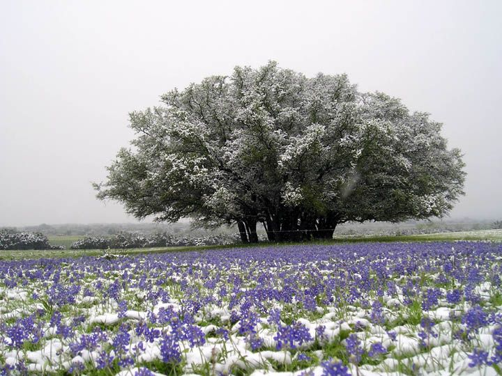 Only in Texas would you see snow and bluebonnets.