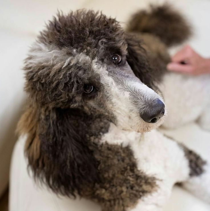 17 Best Images About Multi Colored Poodles You Have To Love Em On Pinterest Toy Poodles