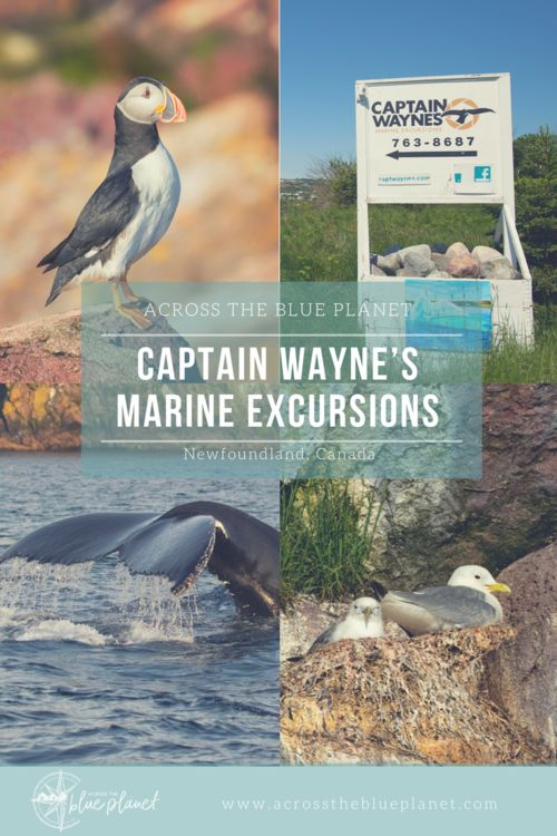 Captain Wayne's Whale & Puffin Tour, in Newfoundland. #travelnewfoundland #whaletour #puffintour #newfoundlandwildlife #newfoundland #photography