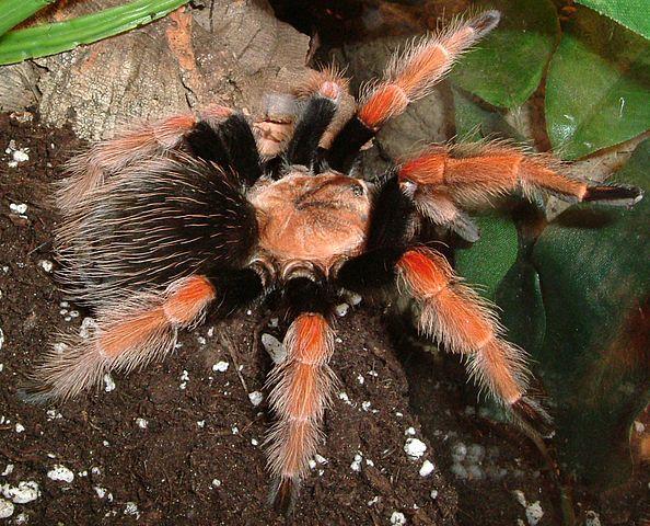 Mexican Fireleg Tarantulas for sale at Voracious Reptiles