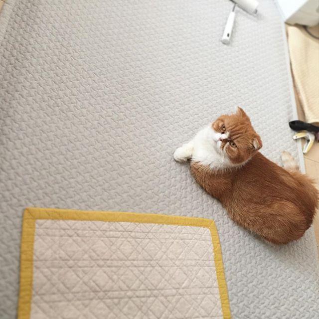 ツチノコごっこ good morning  #たま#スコ#猫#cat#cats#tama#instacat#catlover#cutecat  #にゃんすたぐらむ#ふわもこ部#neko#kawaii #ハチワレ#instagallery#beautiful#friend #catstagram#catlife#ilovemycat#茶トラ #にゃんこ#ねこ部#catsofinstagram#愛猫