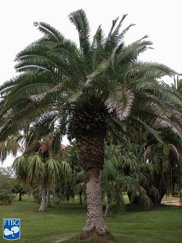 The recent cold snap has left many royal palms looking less than regal. • The Tampa Bay area pushes the northern boundary for many palms like coconuts and adonidias, but that doesn't mean a backyard tropical oasis is something only our more southern neighbors can enjoy. • A lot of factors play into how well a palm handles the cold, including age, soil type, canopy cover and proximity to buildings. But nothing beats genetics, and some palms can naturally take the cold better than others. •…