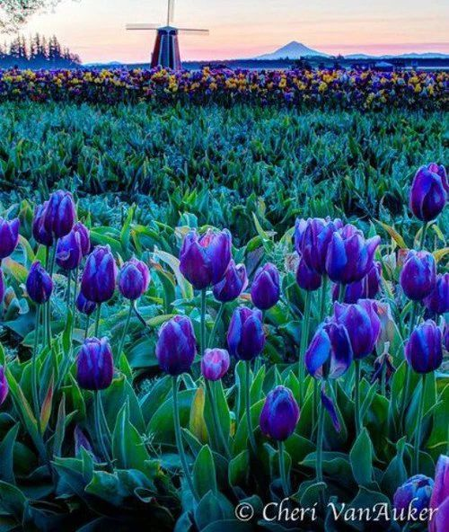 The most amazing flower fields to visit with your family.