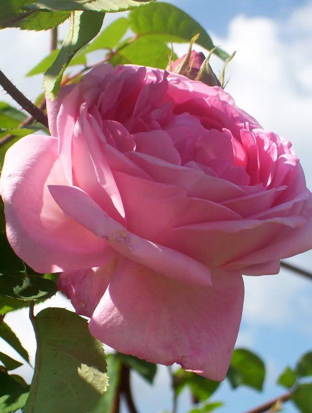 724 best images about roses on pinterest gardens white. Black Bedroom Furniture Sets. Home Design Ideas