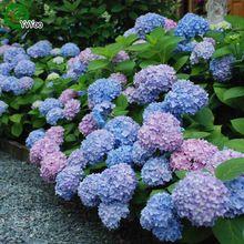 30 Частиц/много Цветов Красивая Гортензия семена Бонсай Растений для Дома Сад a013(China (Mainland))
