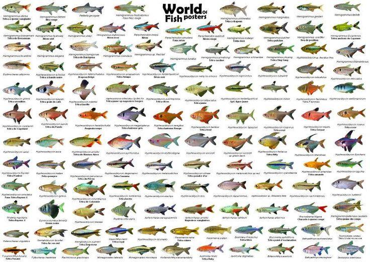 Tetras.jpg - Galeria de Peixes de Água Doce - Galeria de Imagens - Aquariofilia.net