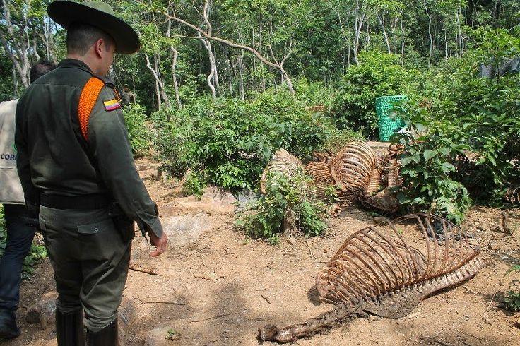 Noticias de Cúcuta: Desmantelado matadero clandestino de equinos, asna...
