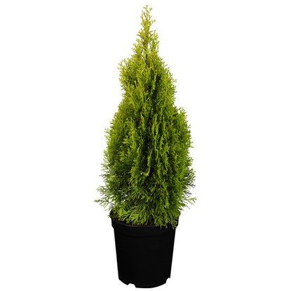 "Lebensbaum ""Golden Smaragd"" Gelb Höhe ca. 40 - 50 cm Topf ca. 4 l Thuja"