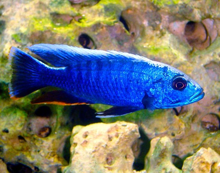 """electric blue cichlid QUICK STATS Minimum Tank Size: 70 gallons Care Level: Easy Temperament: Aggressive Water Conditions: 76-82° F, KH 10-15, pH 7.8-8.6 Max. Size: 8"""" Color Form: Blue Diet: Carnivore Compatibility: View Chart Origin: Africa - Lake Malawi, Farm Raised, USA Family: Cichlidae"""