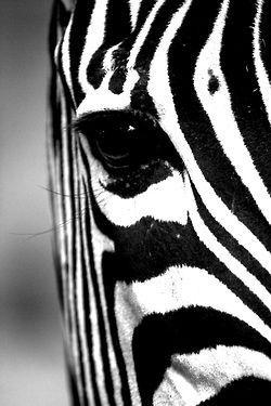 Foto kaart Zebra zwart-wit Ansichtkaart gefotografeerde zebra in zwart-wit. monochrome