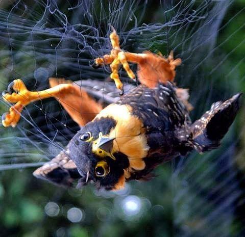 No te asustes está ave no esta siendo capturada para el tráfico de fauna sino para la investigación científica y conservación. Además fue liberada luego.  Hoy te vamos a hablar del programa de Anillado de Aves en el paso de Portachuelos en el Henri Pittier.  El Parque Nacional Henri Pittier es un espacio de gran valorpara el estudio de la avifauna. Se estima que en este Parque se ha reportado cerca del 43% de las especies de aves presentes en Venezuela estadística bastante impresionante…