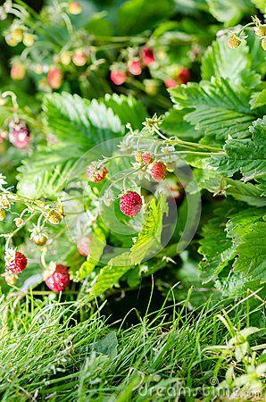 #wild #strawberry